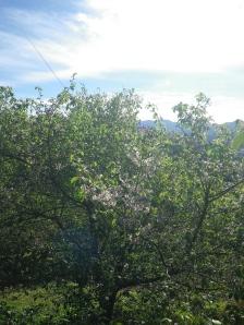 冬に満開のヒマラヤ桜
